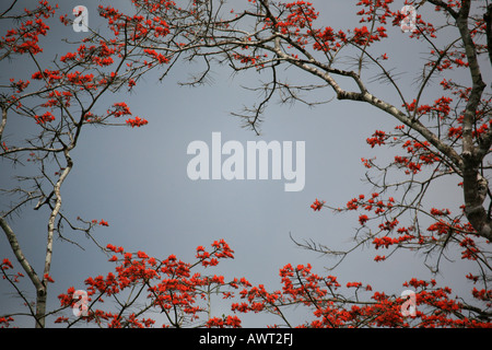 Flowering tree near Cana in the Darien national park in Republic of Panama - Stock Photo