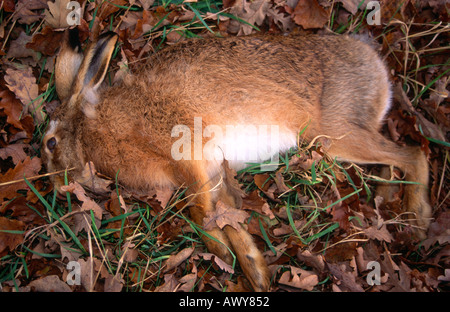 Dead hare lying on grass by the roadside England - Stock Photo