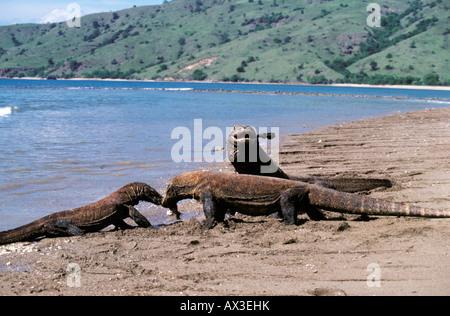 Varan de Komodo Indon sie Komodo dragon in natural environment Varanus komodoensis Indonesia Indian Ocean Komodo - Stock Photo