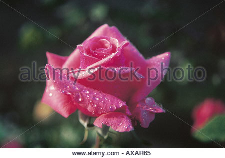 TNK73911 Red rose with water droplets - Stock Photo