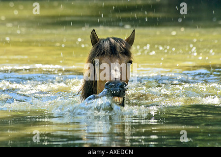 Icelandic horse - swimming - Stock Photo