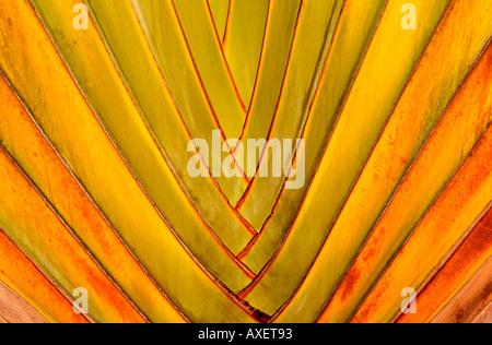detail fan palm fronds - Stockfoto