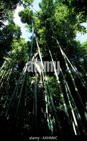 Giant bamboo forest on the Pipiwai Trail to Waimoku Falls Dappled sunlight filters through the dense leaves - Stock Photo