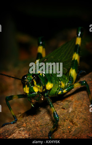 Green and yellow colored grasshopper in the Pirre mountains in the Darien national park Republic of Pan - Stock Photo