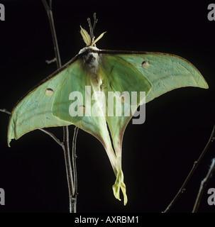 Indian Moon moth Actias selene moth backlit against a dark background - Stockfoto