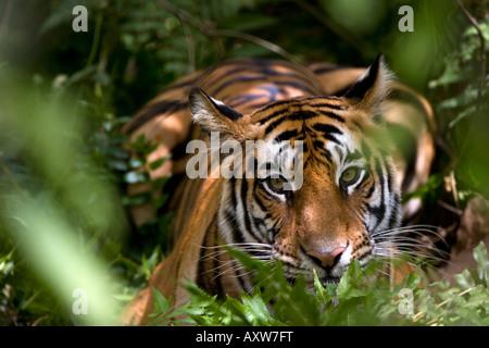 Female Indian Tiger (Panthera tigris tigris) at samba deer kill, Bandhavgarh National Park, Madhya Pradesh state, - Stock Photo