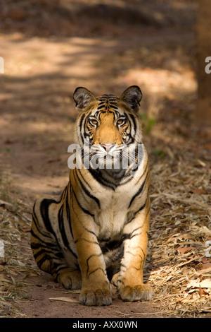 Bengal tiger, Panthera tigris tigris, Bandhavgarh National Park, Madhya Pradesh, India, Asia - Stock Photo