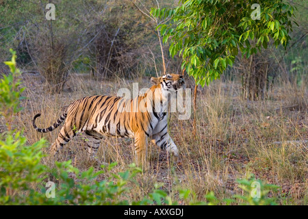 Bengal tiger, (Panthera tigris), Bandhavgarh, Madhya Pradesh, India - Stock Photo