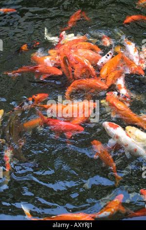 Koi masses stock photo royalty free image 2255579 alamy for Feeding koi carp