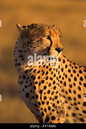 Cheetah, Acinonyx jubatus, hunting in evening light, Masai Mara, Kenya, East Africa, big cat, wild animal - Stockfoto