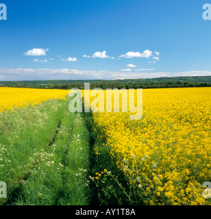 Path through a rapeseed field Westerham, Kent, England, UK. - Stockfoto