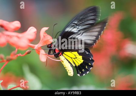 Common Birdwing Butterfly Troides Helena Male Ventral