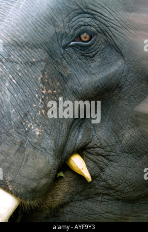 Captive Indian elephant close-up eating a banana in an elephant sanctuary. Kerela. India - Stock Photo