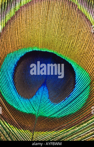 Close up of peacock feather - Stock Photo