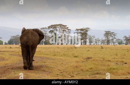 An Elephant strides through scattered woodland in Ngorongoro Crater, Tanzania. - Stock Photo