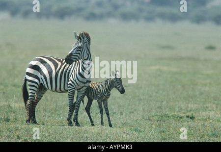 Common Zebra with her newborn foal a few minutes after birth in Serengeti National Park Tanzania East Africa - Stock Photo