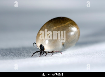 Sheep - or Castor Bean Tick (Ixodes ricinus), engorged, close-up - Stock Photo