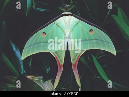 Indian moon moth (Actias selene), tropical rainforest, India - Stockfoto
