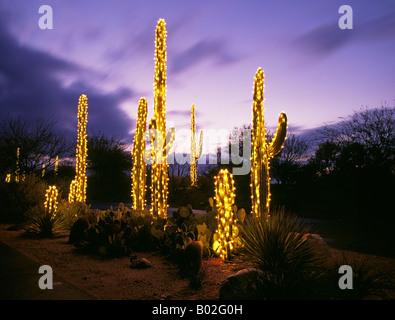 USA ARIZONA TUCSON Giant Saguaro Cactus Decorated With Christmas Lights At  Christmas Eve On The Streets
