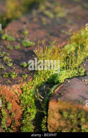 Tortula muralis Screw- Moss growing on a wall in a Cheshire Garden,on a sunny winter day - Stockfoto