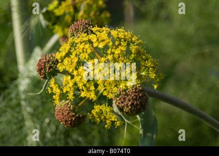 aplaceae ferula communis - Stock Photo