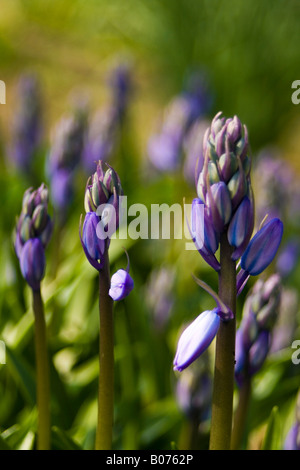 hyacinthaceae hyacinthoides hispanica fausse jacinthe d'espagne - Stock Photo