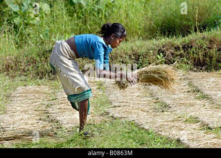 Woman working in a rice paddy field. Warli tribe, Thane, Maharashtra, India - Stock Photo