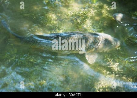 Koi fish swimming in pond stock photo royalty free image for Pool koi aquatics ltd