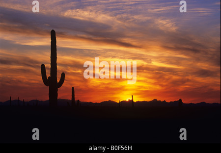Saguaro cactus against dramatic sunset sky, Saguaro National Park, Arizona  USA - Stock Photo