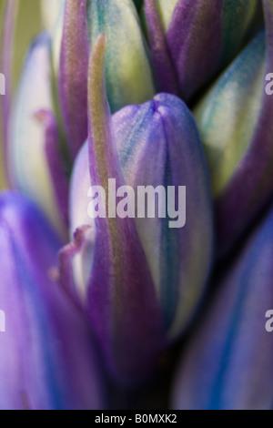hyacinthaceae hyacinthoides hispanica fausse jacinthe d'espagne - Stock Photo
