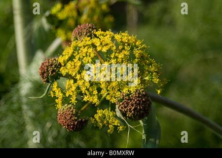 aplaceae ferula communis L fér circumméditérané joseph dupouy nature - Stock Photo