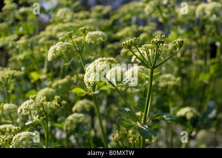 aplaceae smyrnium olusatrum L - Stock Photo