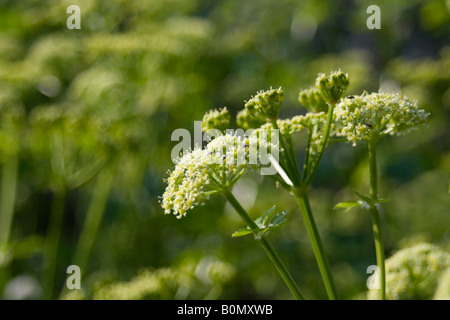 aplaceae smyrnium olusatrum L - Stock Photo