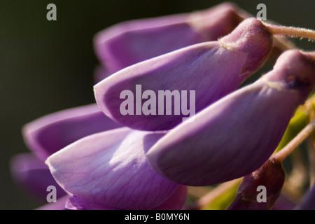 glycine du japon fabaceae fabio joseph dupouy nature ranunculaceae Aquilegia vulgari - Stock Photo