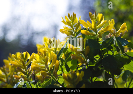 joseph dupouy nature petteria ramentacea cytise - Stock Photo