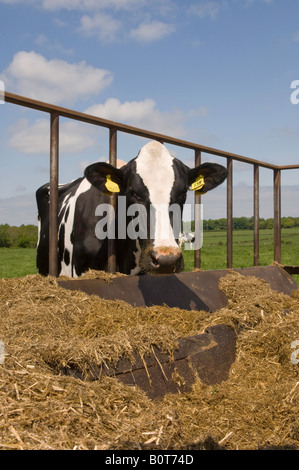 Holstein Cattle Feed