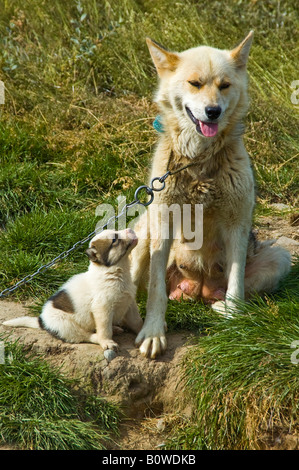 Greenland Dog with puppy (Canidae), sled dog, Greenland, Arctic - Stock Photo