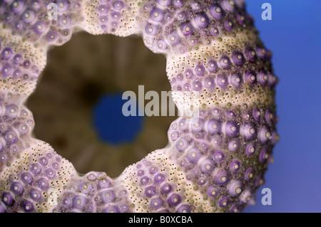 shore sea urchin, shore urchin, purple-tipped sea urchin (Psammechinus miliaris), Sea-urchin exoskeleton from a - Stockfoto