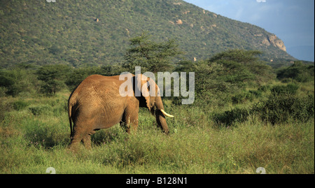 Elephant walking through the grass in Kenya Africa - Stock Photo