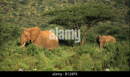 Two elephants walking through the grass in Kenya Africa - Stock Photo