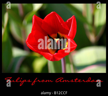 Tulips from Amsterdam - Single red tulip close up - Stock Photo