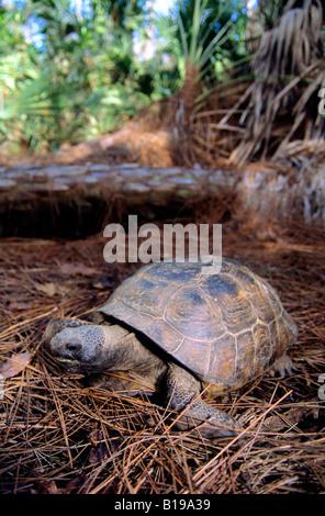 Gopher tortoise (Gopherus polyphemus), central Florida - Stock Photo