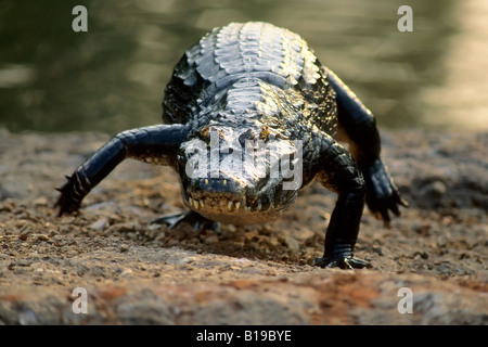 Spectacled caiman (Caiman crocodilus), Brazil - Stock Photo