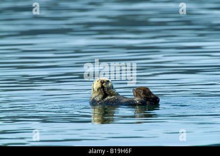 USA, Alaska, Copper River Delta. Sea Otter (Enhydra lutris) in the Orca Inlet near Cordova. - Stock Photo