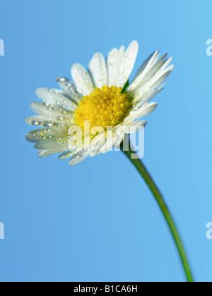 Common Daisy Flower - Stock Photo