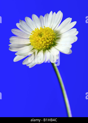Daisy Flower Head - Stock Photo