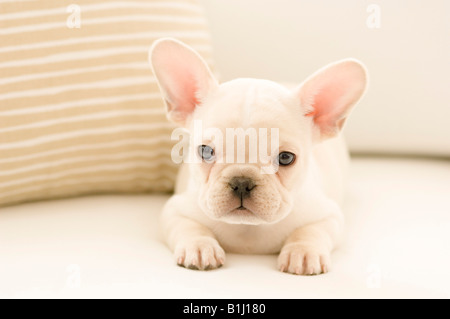 Close-up of a French bulldog puppy - Stock Photo