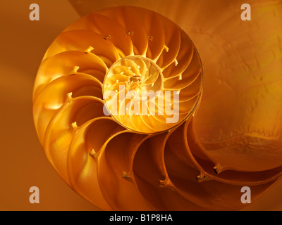 Nautilus Shell bisected in half showing the chambers Nautilus Pompilus Genus Nautilus - Stock Photo