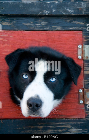 Sled dog looking out of the window of a dog box on a dog truck, Yukon Territory, Canada, North America - Stock Photo