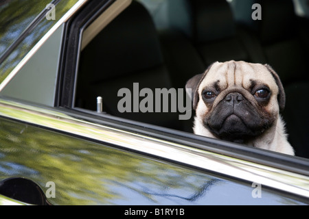 Young pug looking out of a car window - Stock Photo